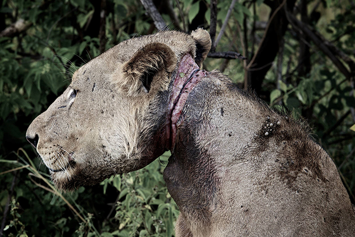 Lion victim of snare.
