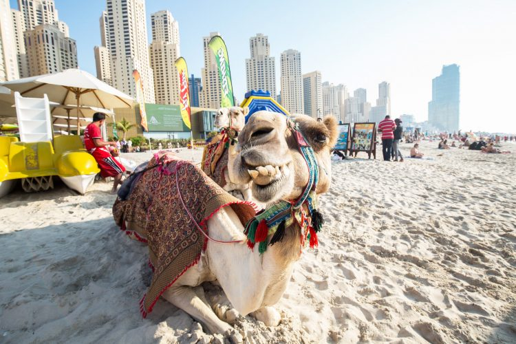 Smile! Camels at Jumeirah Beach, Dubai