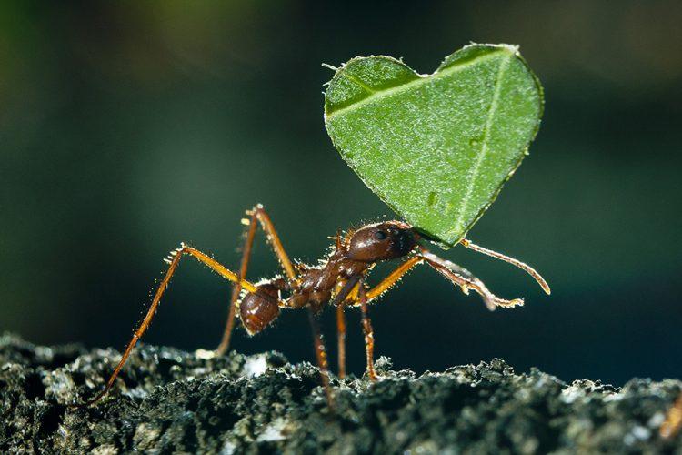 Love ant