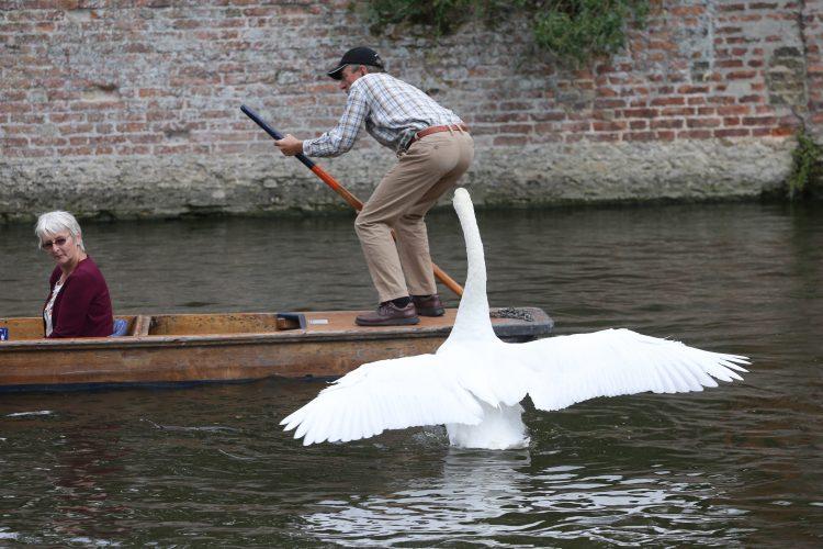 Vicious Asbaby swan attacks punters