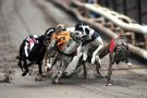 Greyhound racing at Owlerton Stadium , Sheffield