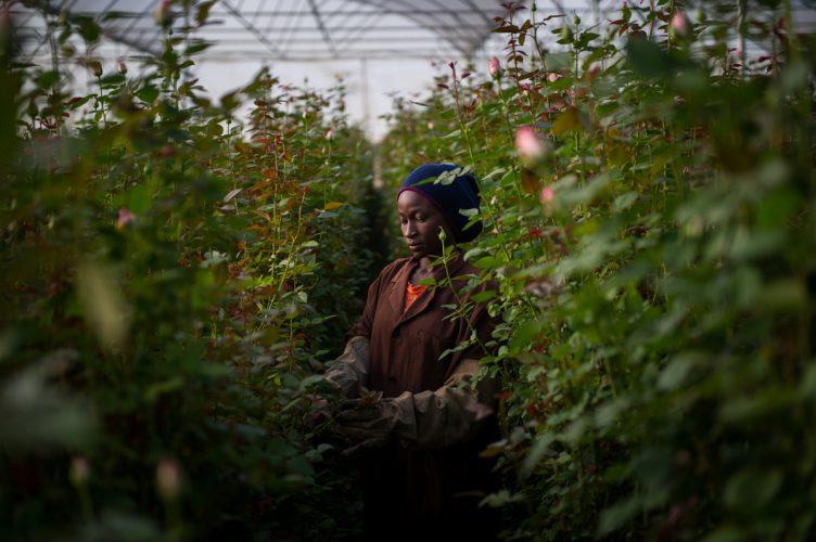Rose production, Kenya