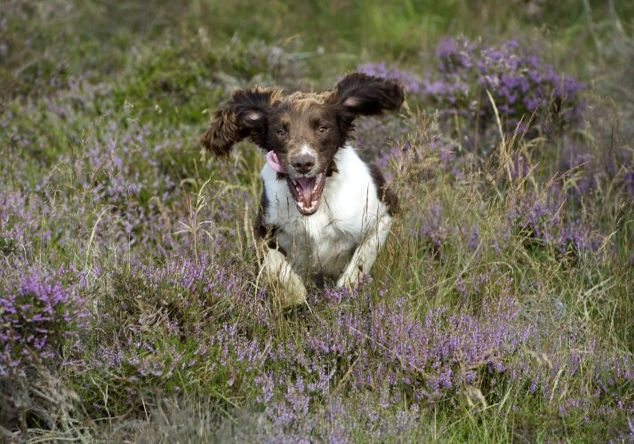 Louis the spaniel bounds through the heather on the 'Gloroius Twelfth'