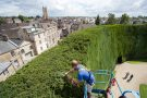 Bathurst yew hedge annual trim.