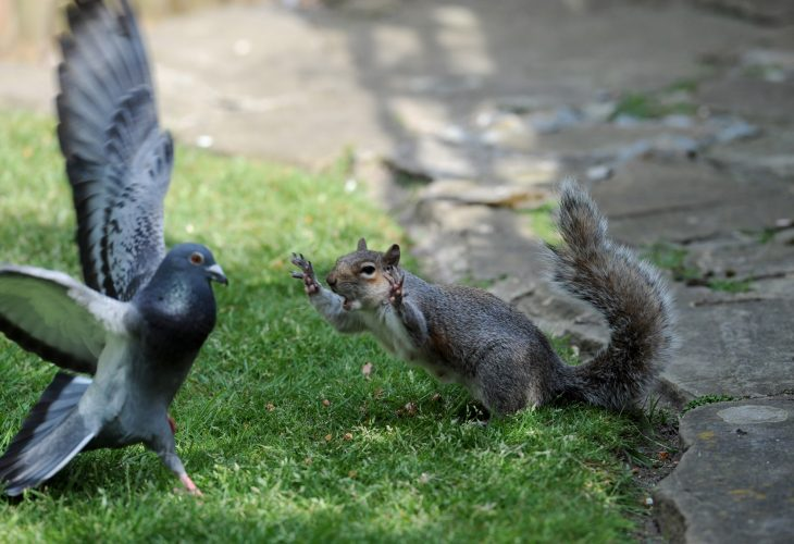 Angry Squirrel takes on Pigeon stealing his food