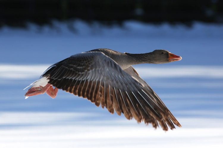 Sunderland Freelance & Press Photographer | Bird Flying in the Snow