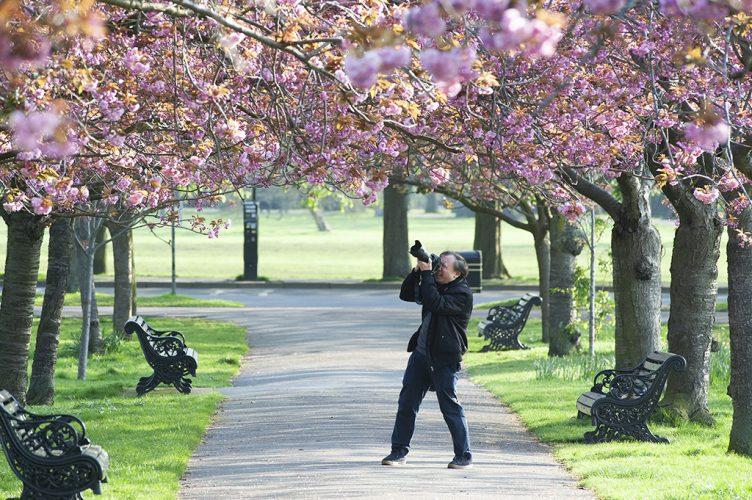 Cherry blossom Greenwich