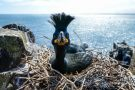 A shag protects her nest on the Farne Islands, Northumberland which the National Trust is celebrating 90 years of protection of in 2015