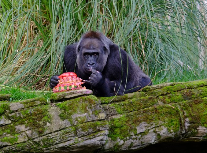 Zaire the Gorilla celebrates her 40th birthday with cake at London Zoo