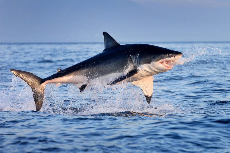 Great White Shark Breaching In South Africa