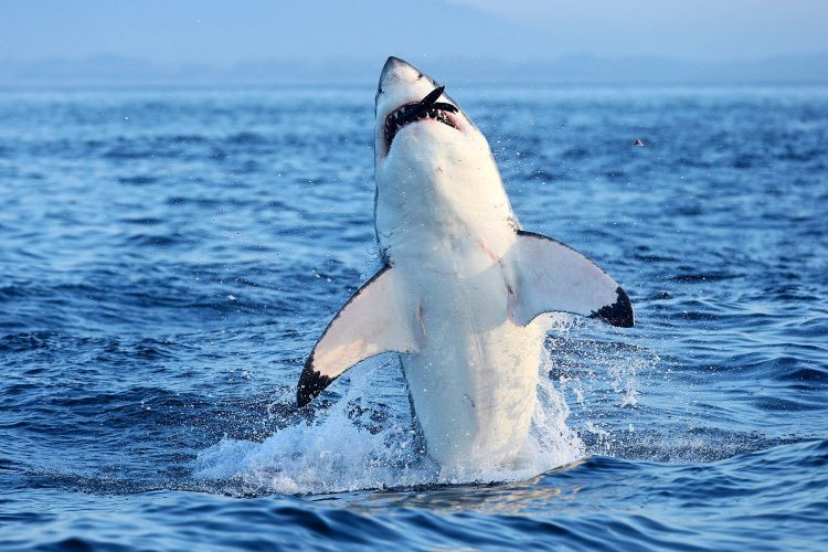 A Great White Shark breaching on a Cape Fur Seal
