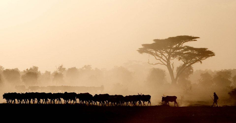 A Masai man and his herd of cattle at Amboseli National Park in Kenya