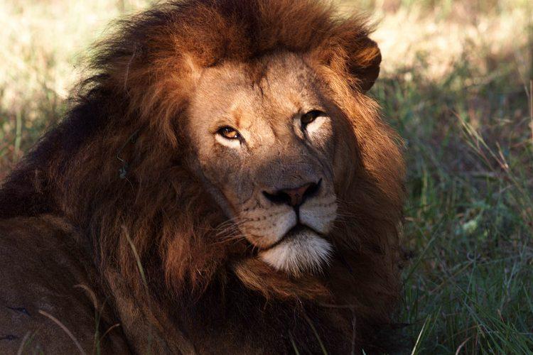 Zimbabwe Lion 1998 war on White farmers